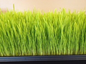 wheat grass 2013-08-26