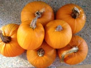 2013 pumpkins from garden